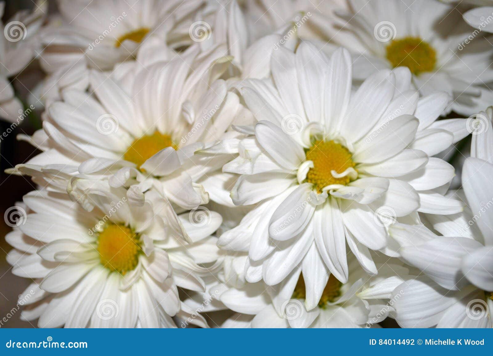 White double daisy close up