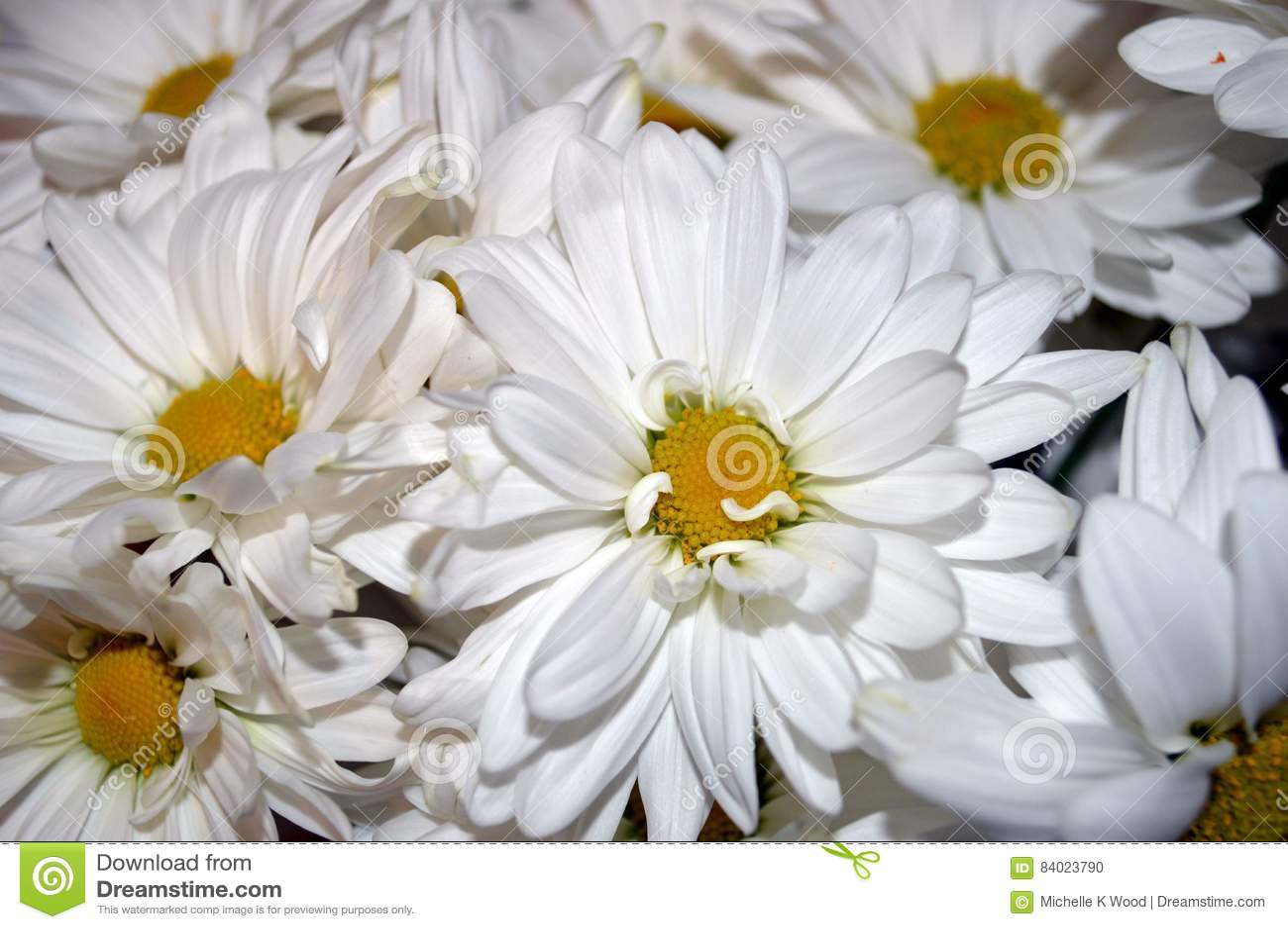 White Double Daisy Close Up Stock Photo Image Of Yellow