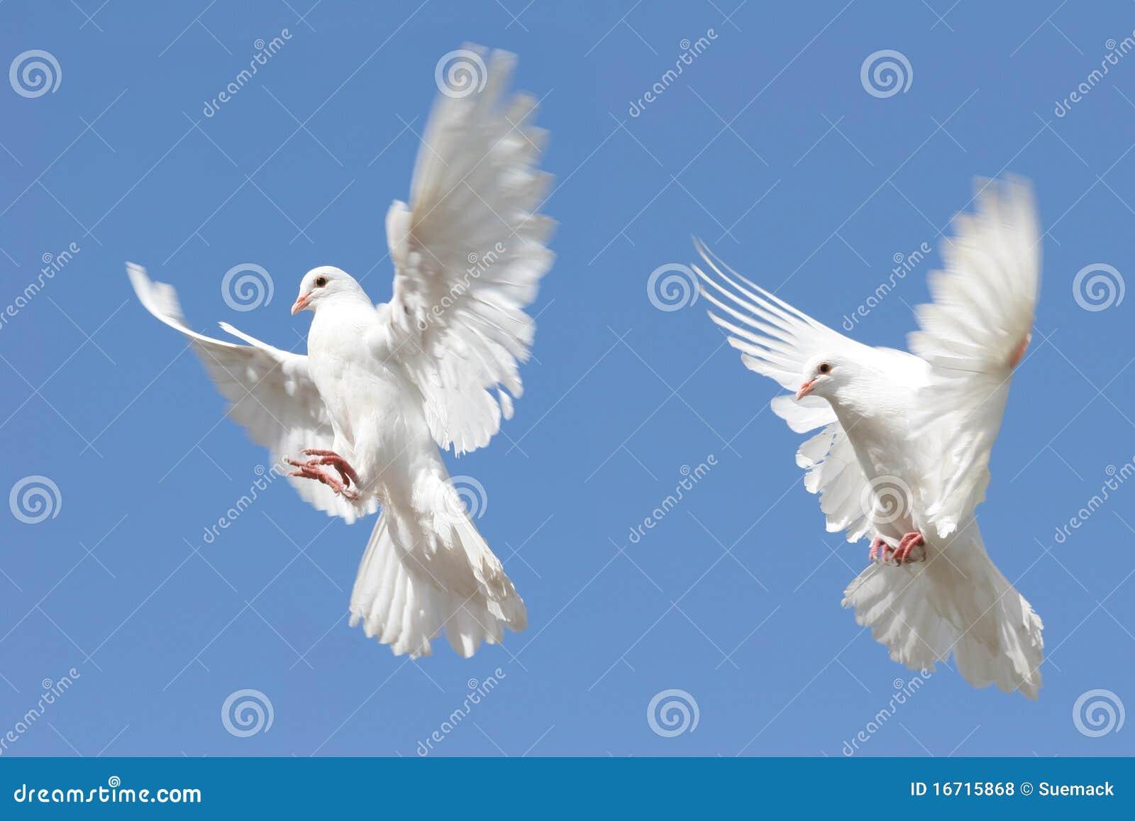 White Dove In Flight Royalty Free Stock Photos Image 16715868