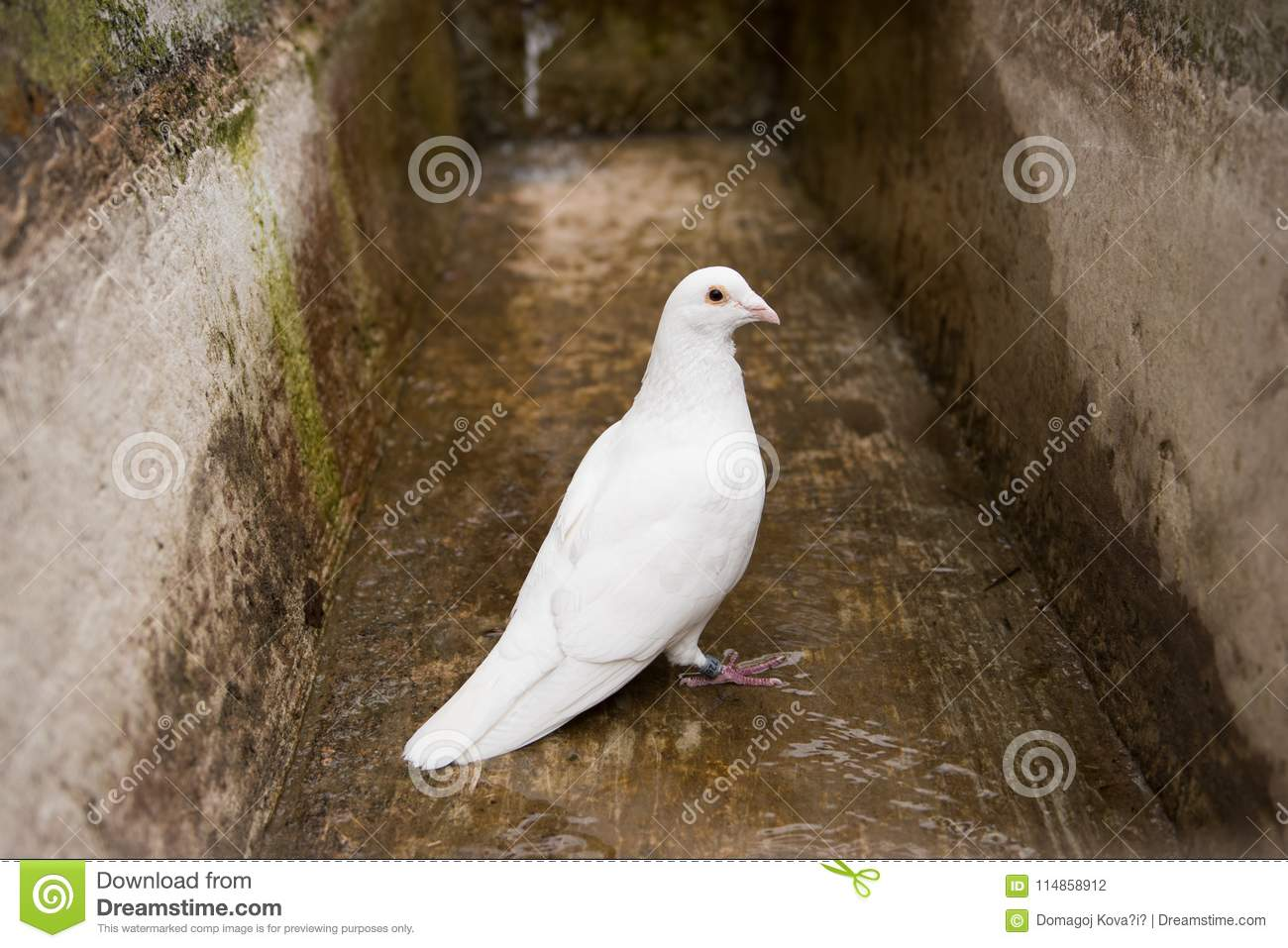 White Dove Pigeon Symbol Of Peace And Freedom Stock Photo Image
