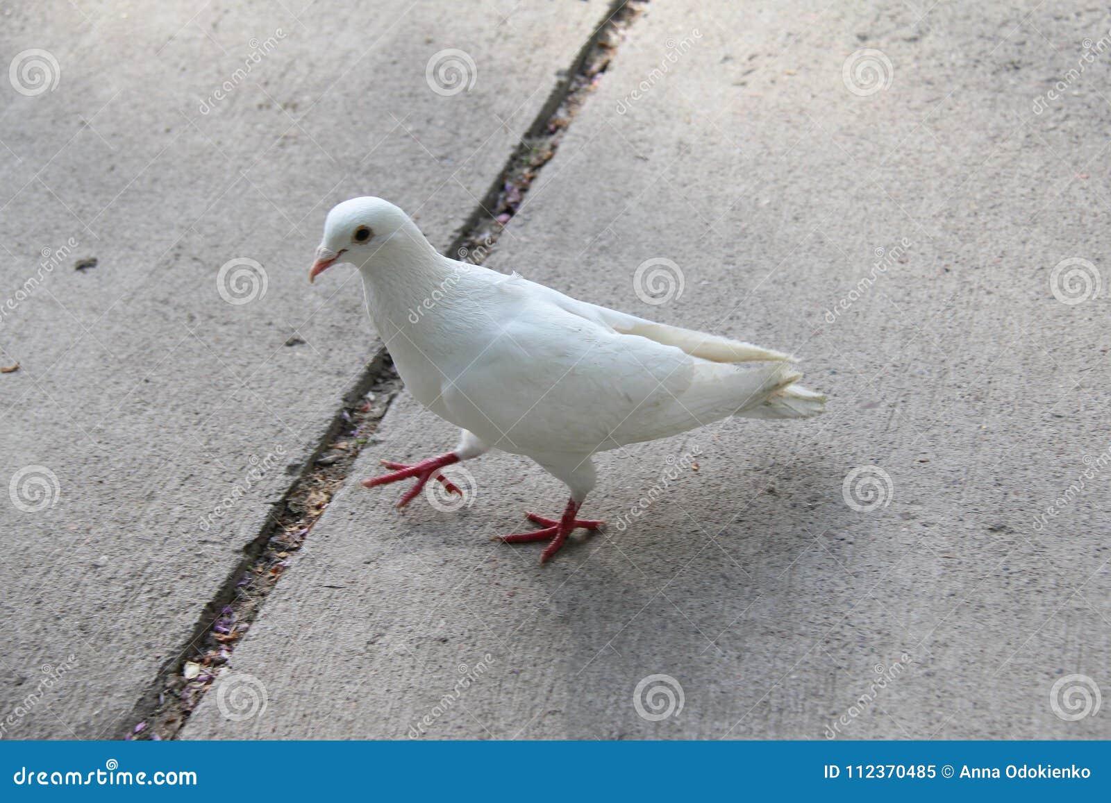 White Dove Stock Image Image Of Winged Bird Grass 112370485