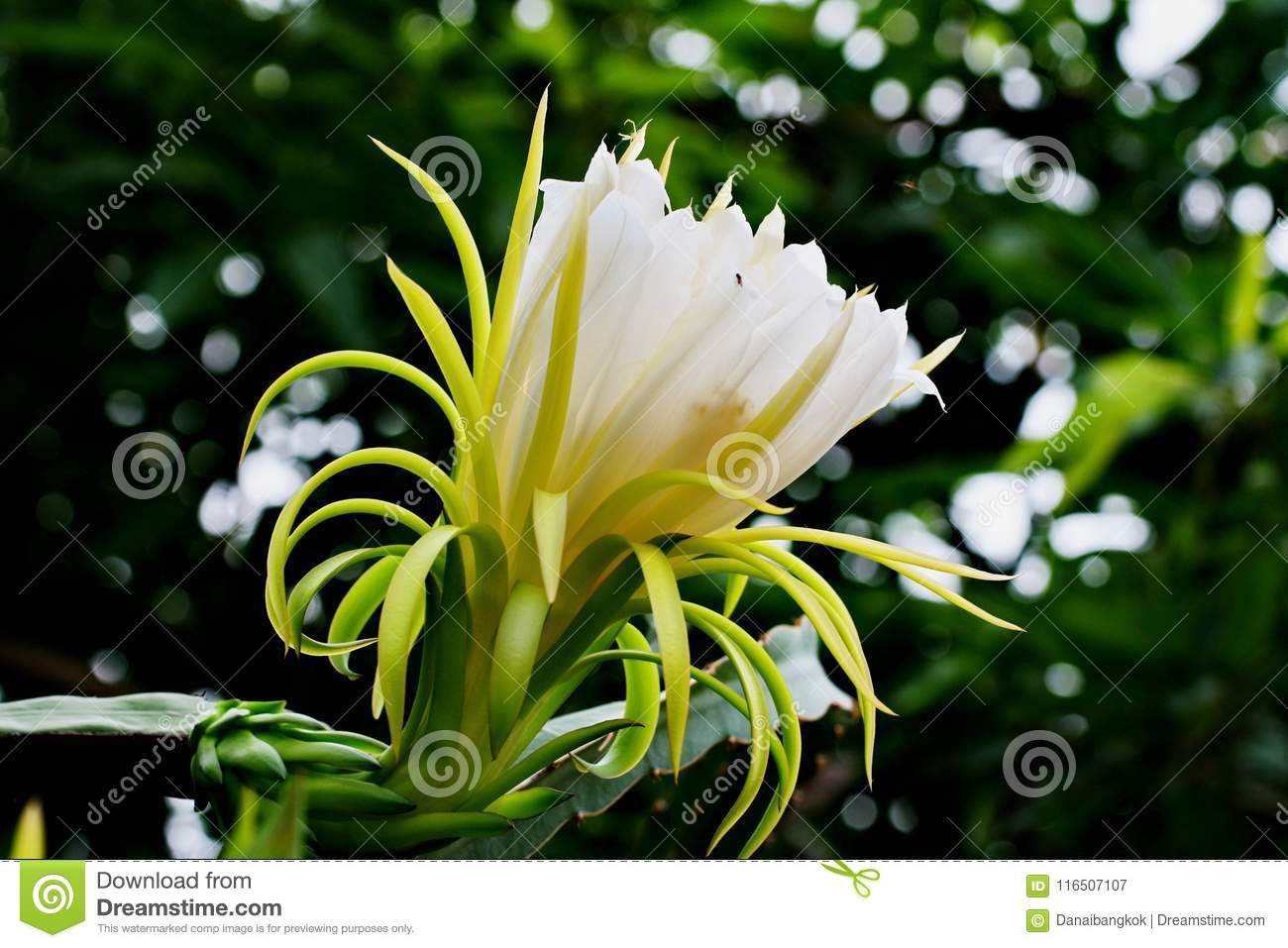 A White Dragon Fruit Flower Against The Back Ground With Bokeh Stock
