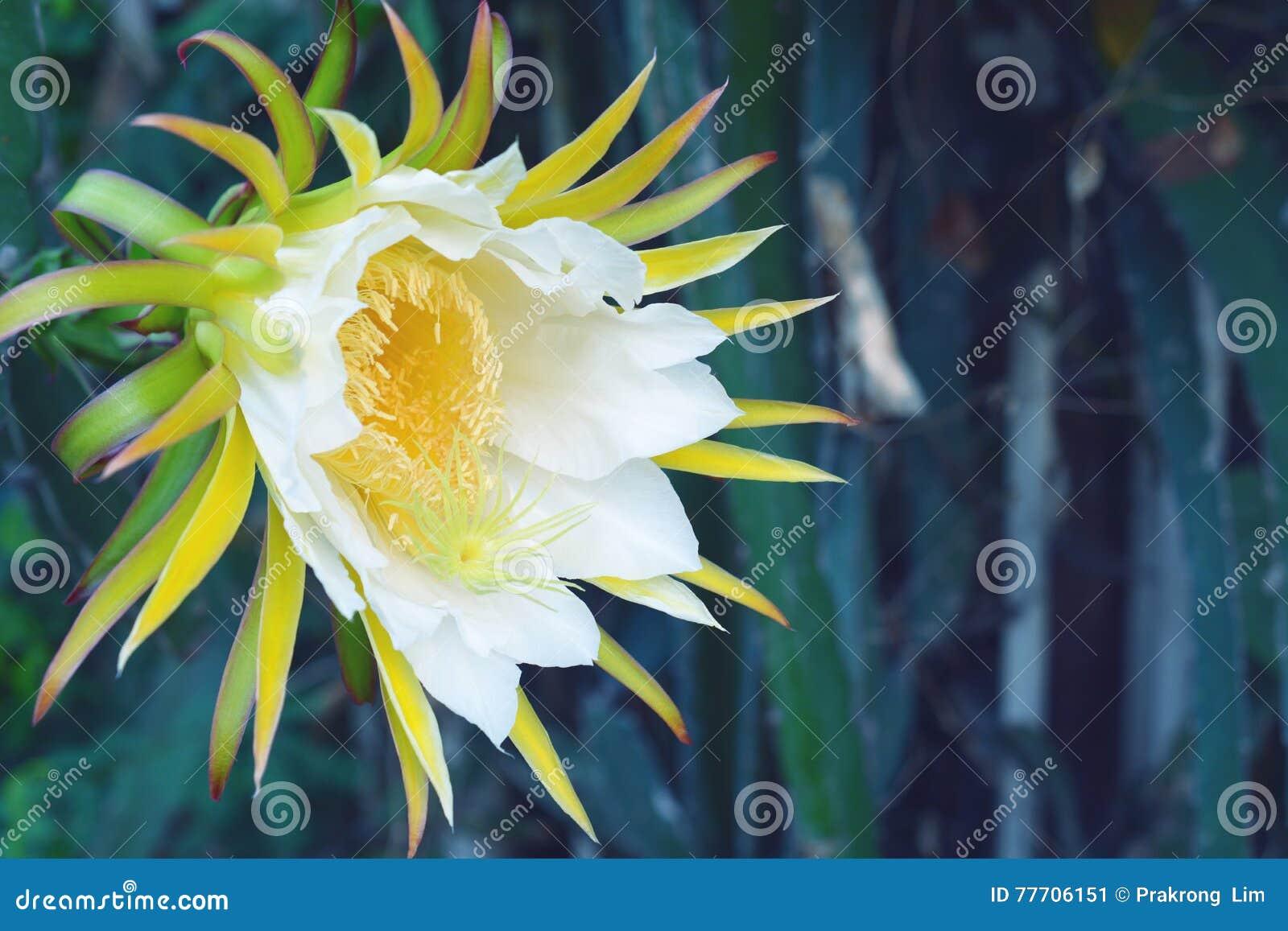 White dragon fruits flower stock image image of growing white dragon fruits flower mightylinksfo
