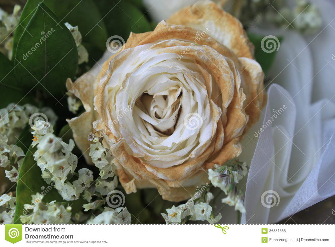 White Dry Rose After Valentine Day Faded Rose Stock Image Image