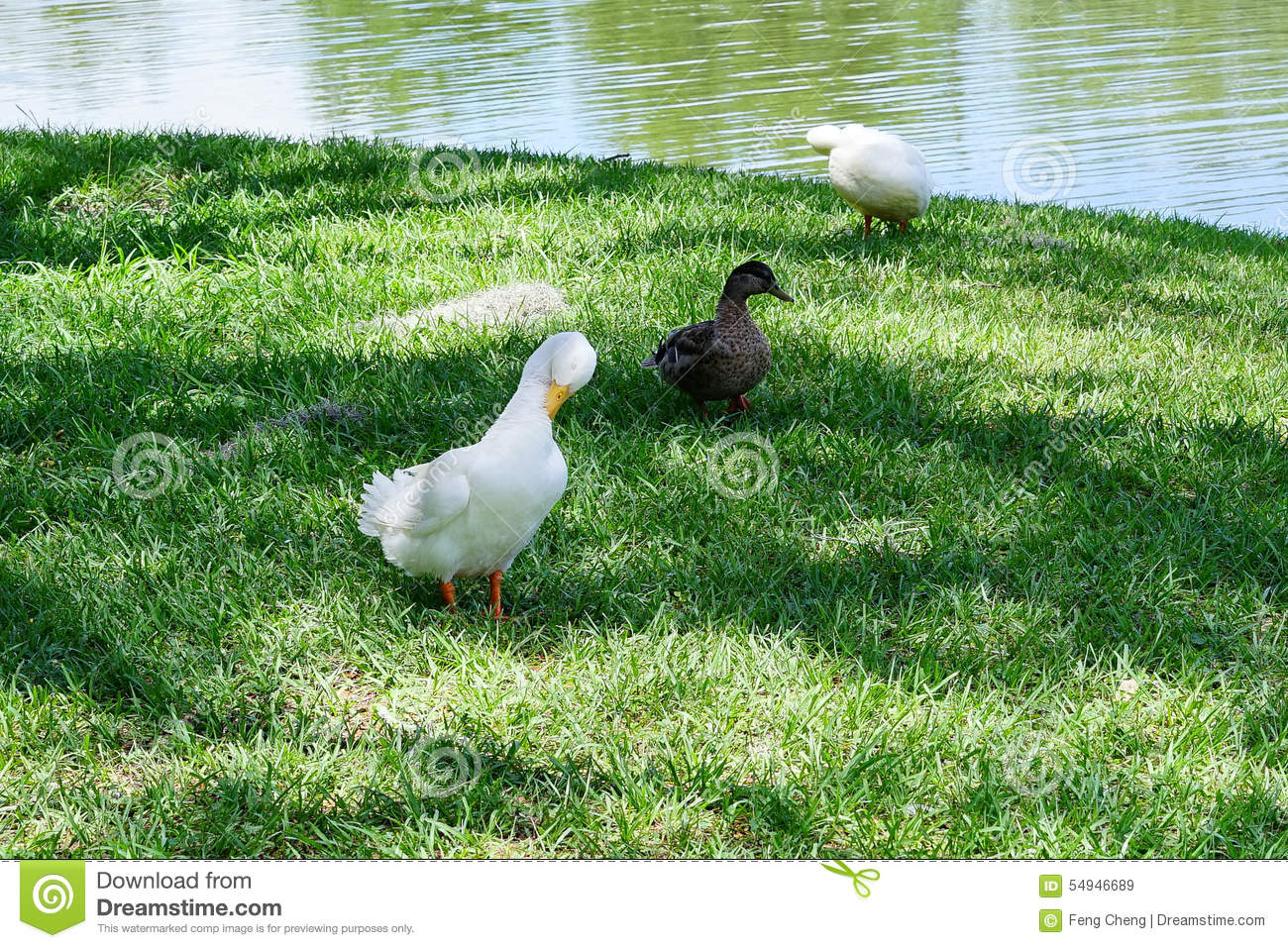 A white duck is feather pecking