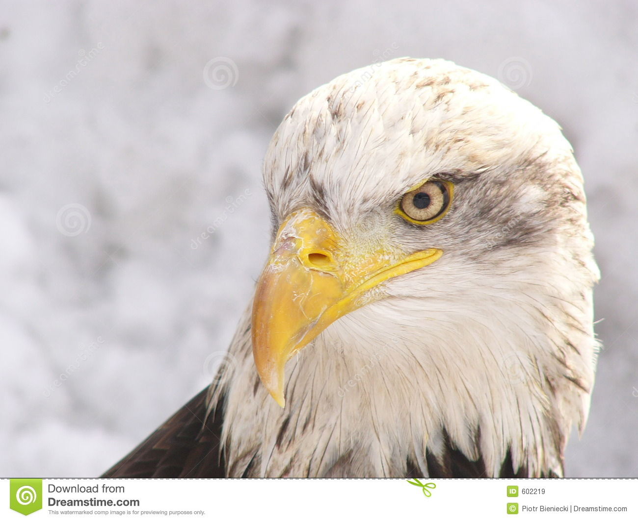 White Eagle Royalty Free Stock Images - Image: 602219