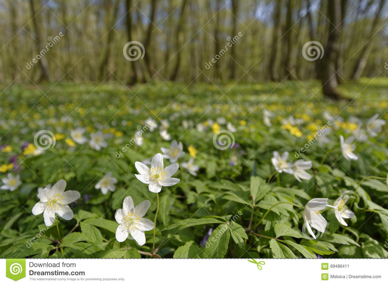 White Easter Flowers Into The Woods Stock Image Image Of Forest