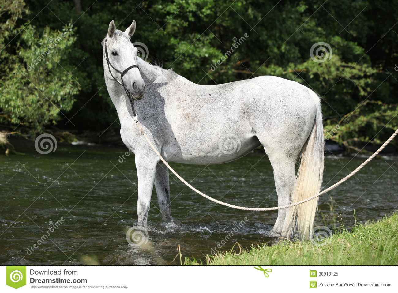 White English Thoroughbred Horse In River Royalty Free ...