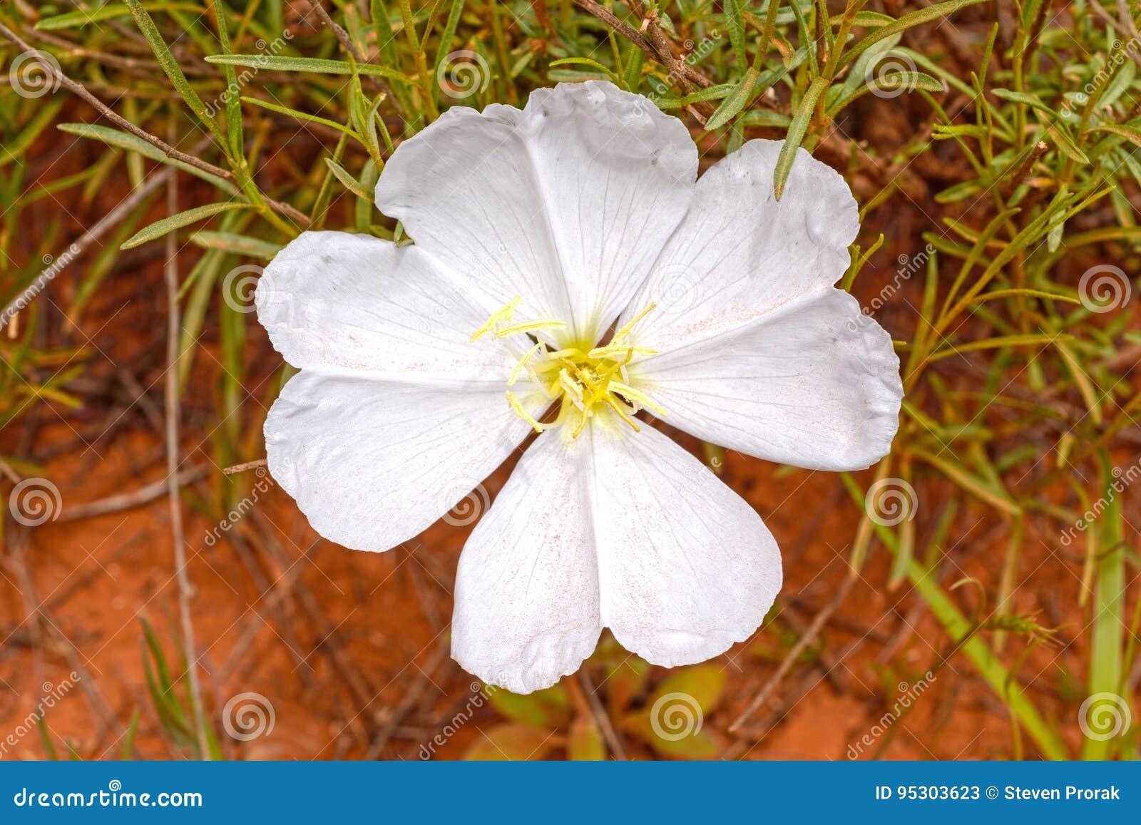 White Evening Primose in the Desert
