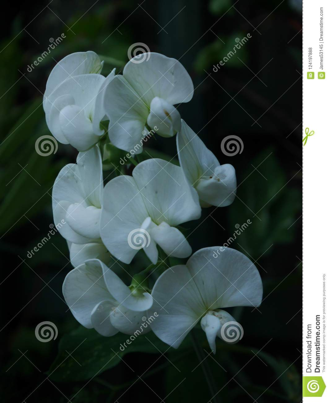 White Everlasting Sweet Pea Flowers Stock Photo Image Of Nature