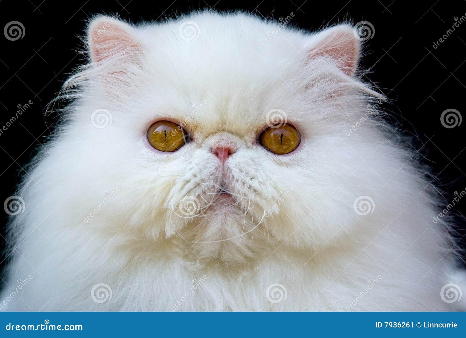 White Exotic Persian Copper Eye Cat Black Velvet Stock Image - Image ... Tiger Eyes Black And White
