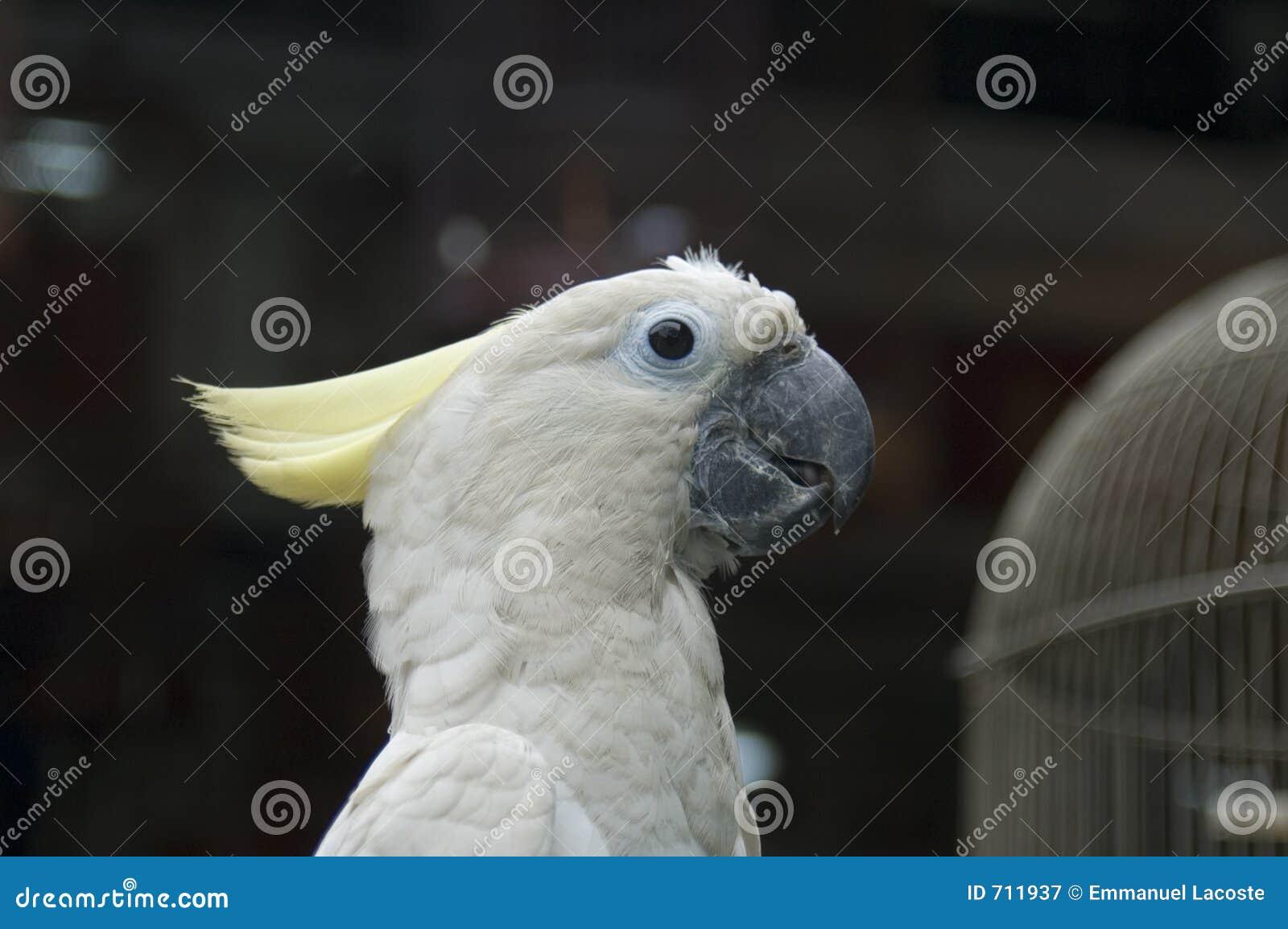 White för 4 papegoja