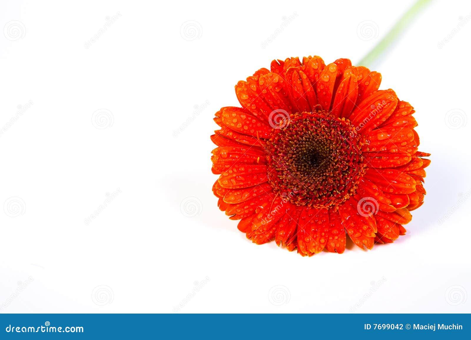 White för gerber för 2 bakgrund orange