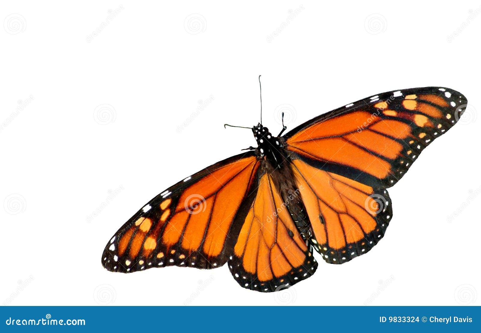 White för monark för bakgrundsfjärilsutklipp