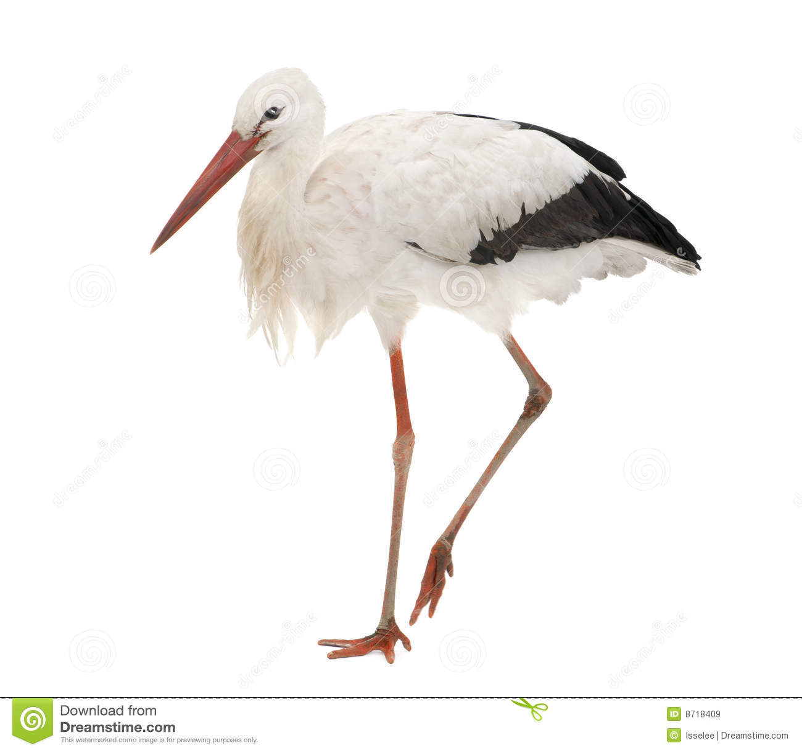 White för stork för 18 ciconiamånader