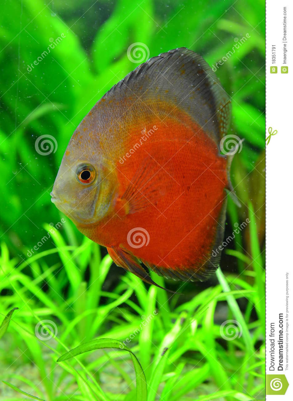White Face Melon Discus Fish Stock Image - Image of cichlids, color ...