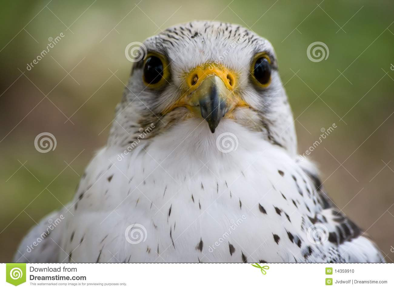 White Falcon Bird Stock Photo - Image: 14359910