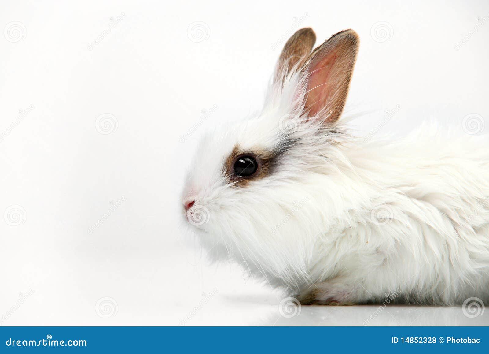 White fancy rabbit on white background