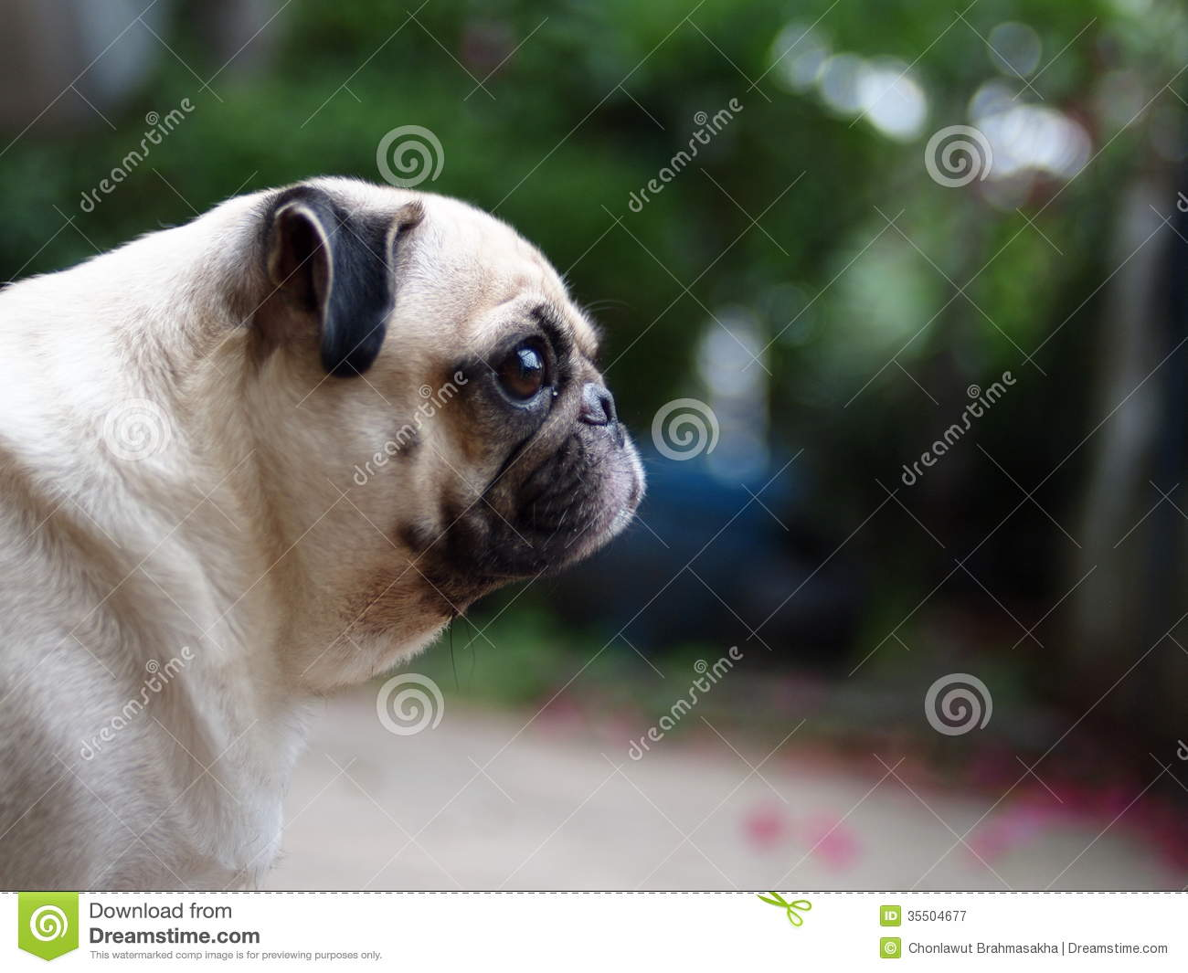Royalty Free Stock Photography: White fat lovely pug dog ...