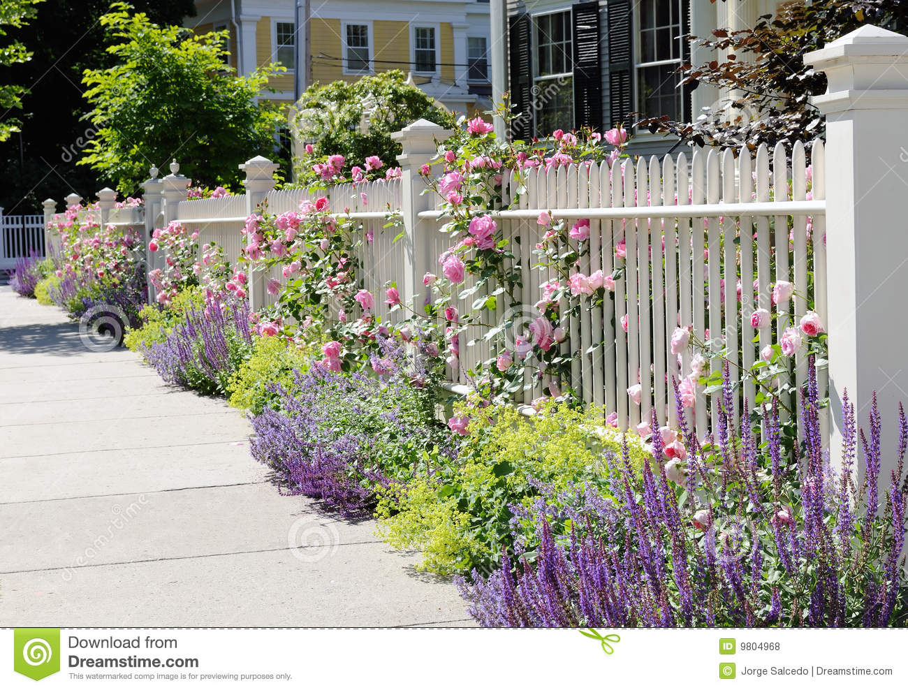 Roses In Garden: White Fence With Roses In Late Spring Royalty Free Stock