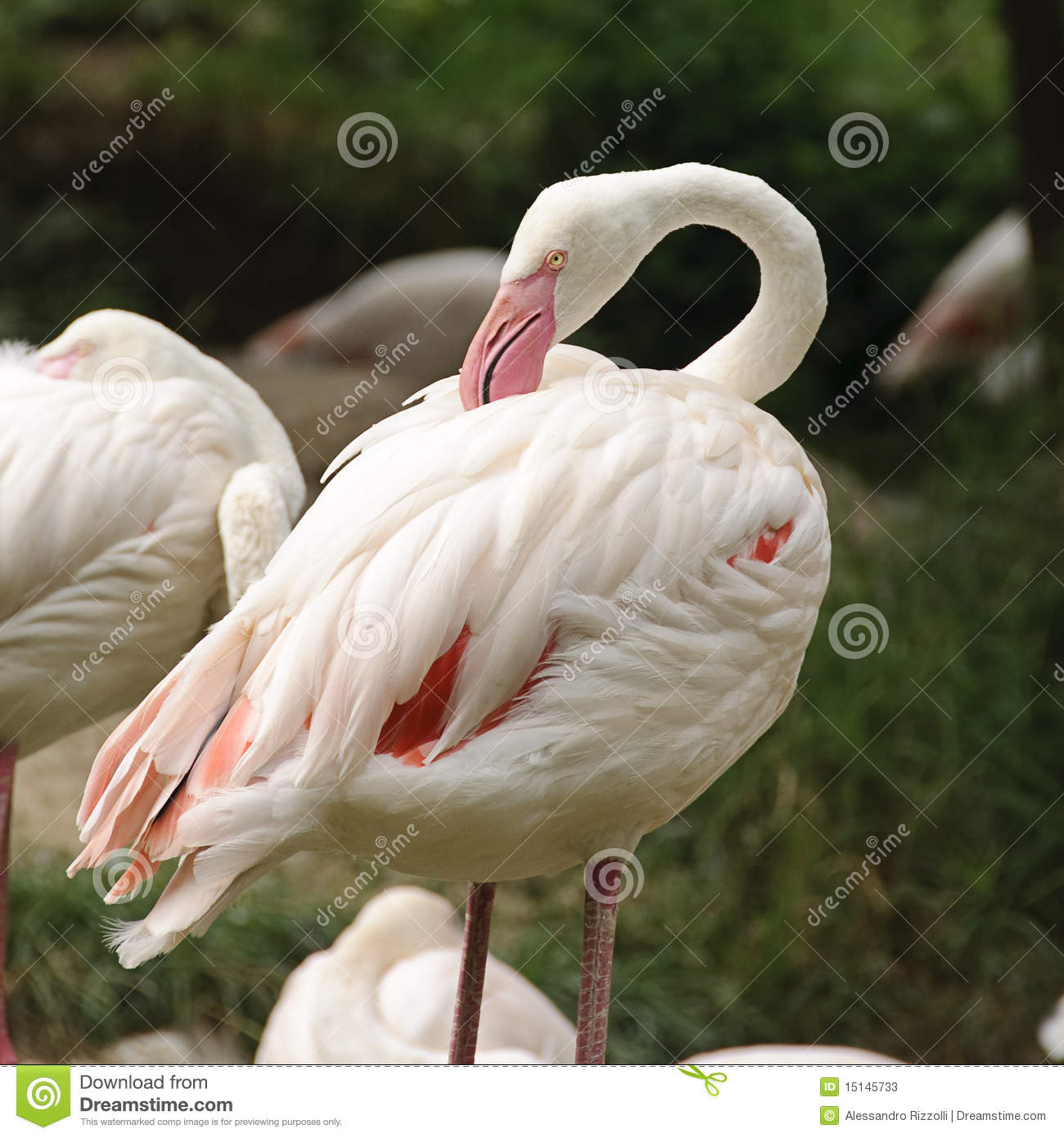 The greater flamingo is the tallest of the 6 different species of flamingos, standing at to feet ( to m) with a weight up to pounds ( kg), and the shortest flamingo species (the lesser) has a height of feet ( m) and weighs pounds ( kg).
