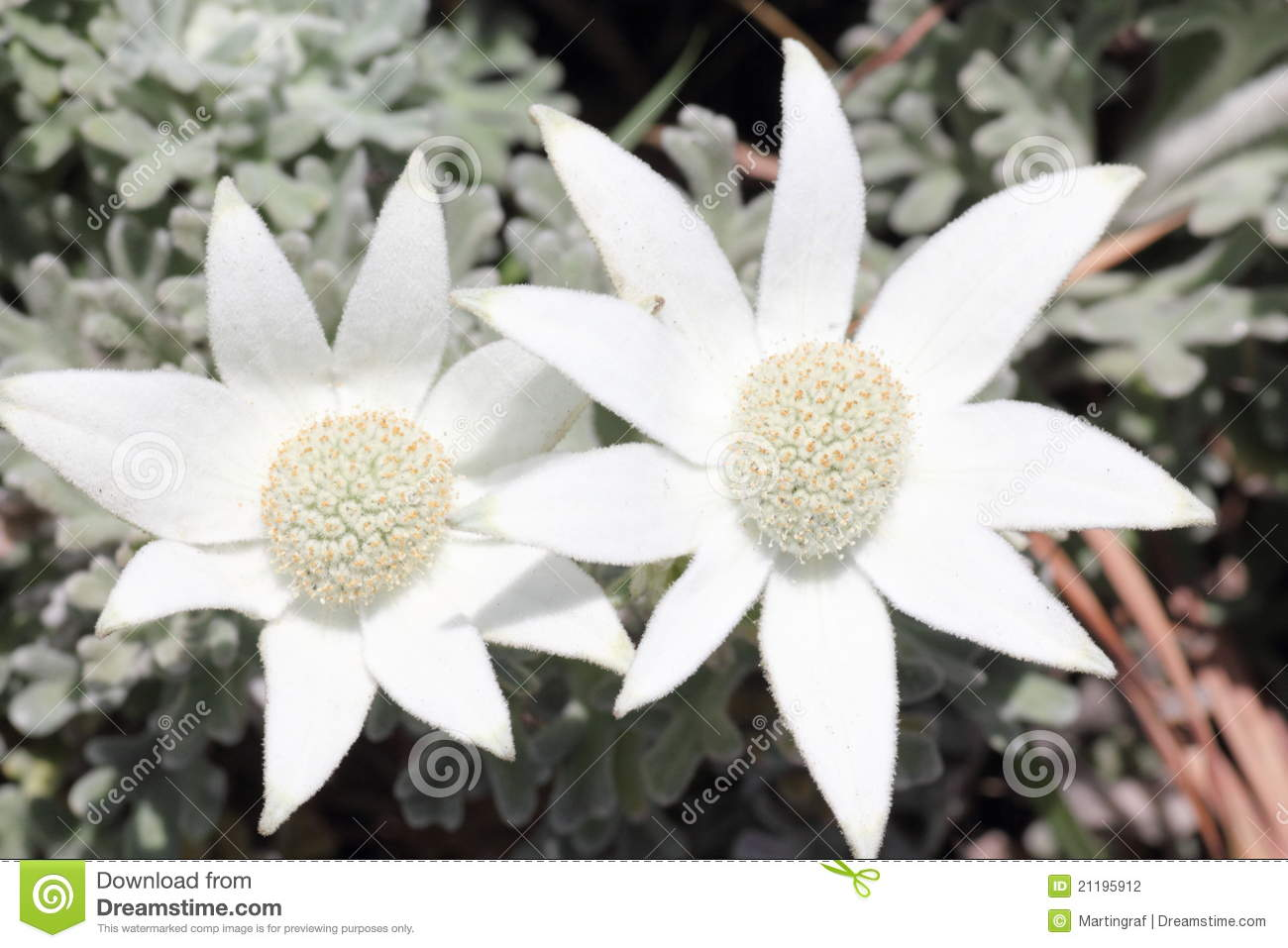 Flannel Flower White Bloom In Heathland Stock Photo Image Of