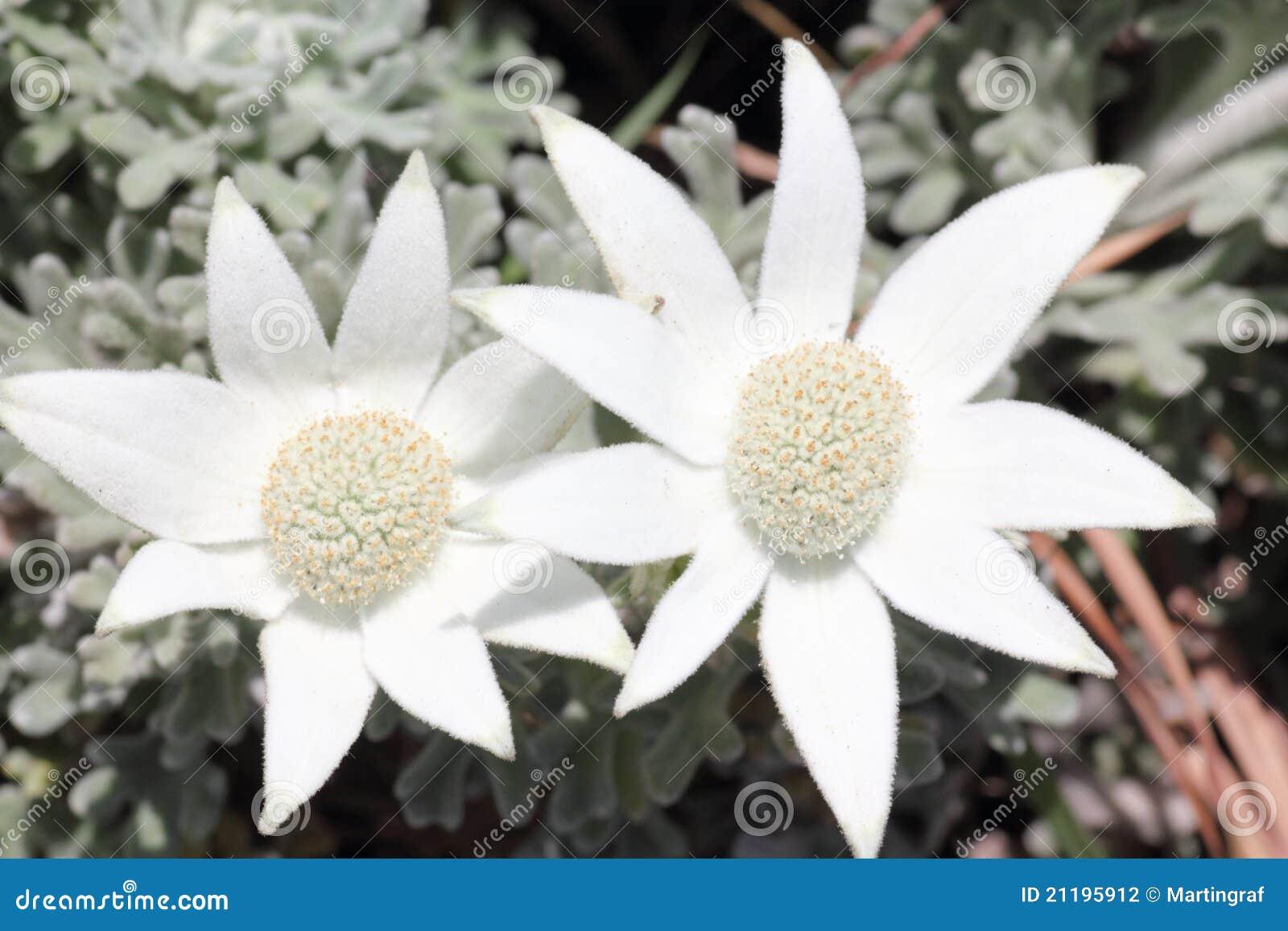 Flannel flower white bloom in heathland stock photo image of flannel flower white bloom in heathland mightylinksfo