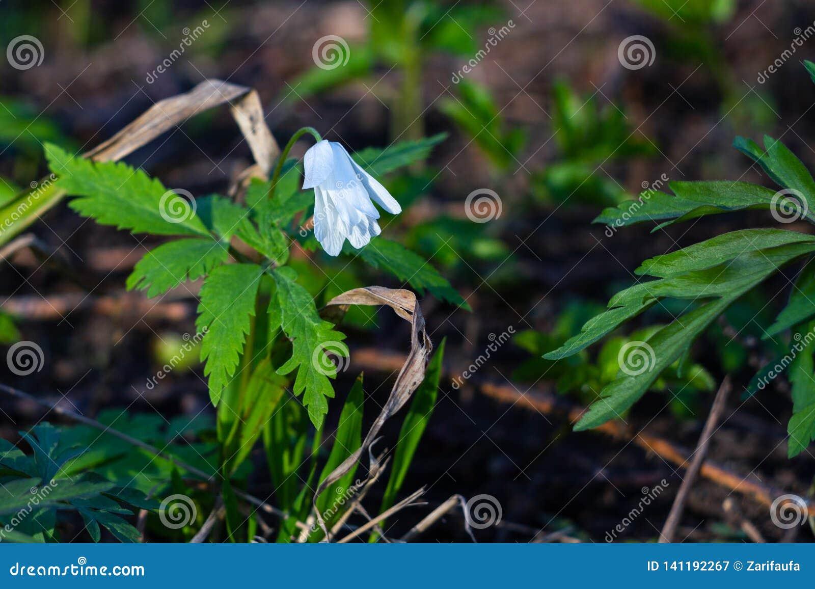 White flower Anemone nemorosa in forest on sunny spring day