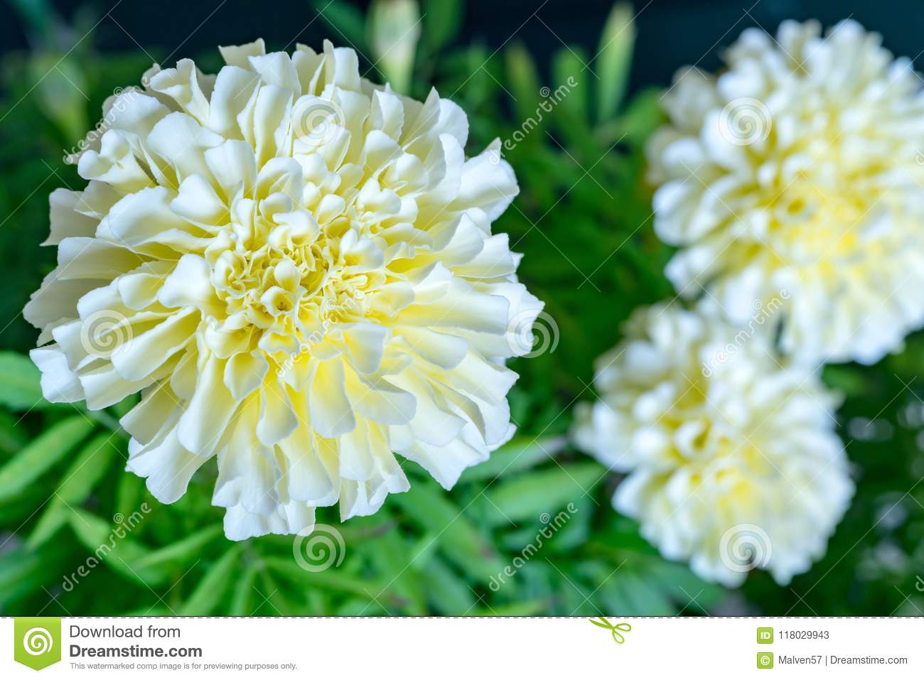 White Flower Of Aster Closeup Stock Image Image Of Flower Tagetes