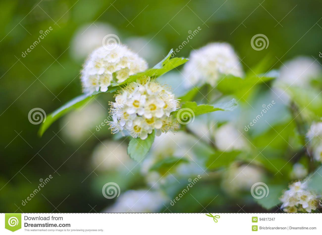 White Flower Balls Stock Image Image Of Mountain Life 94817247