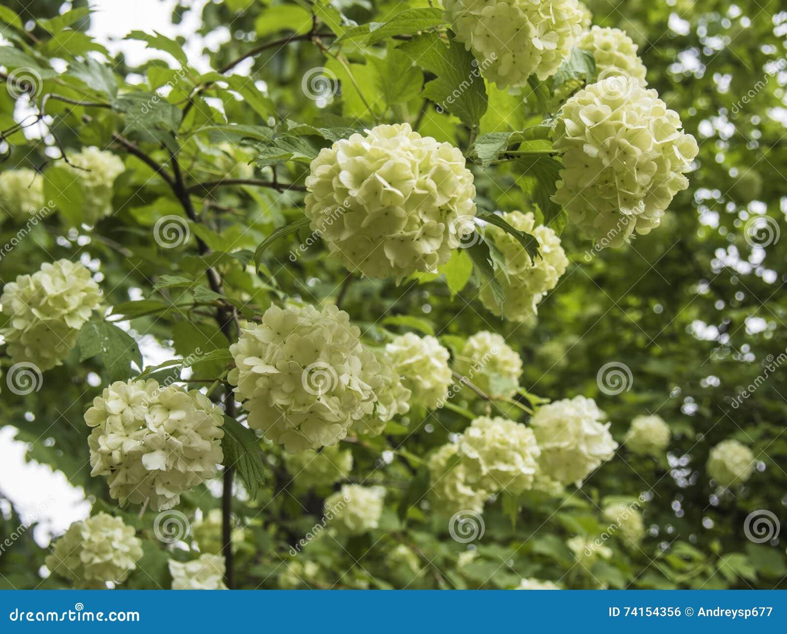 White flower balls of fragrant viburnum stock photo image of green download comp mightylinksfo