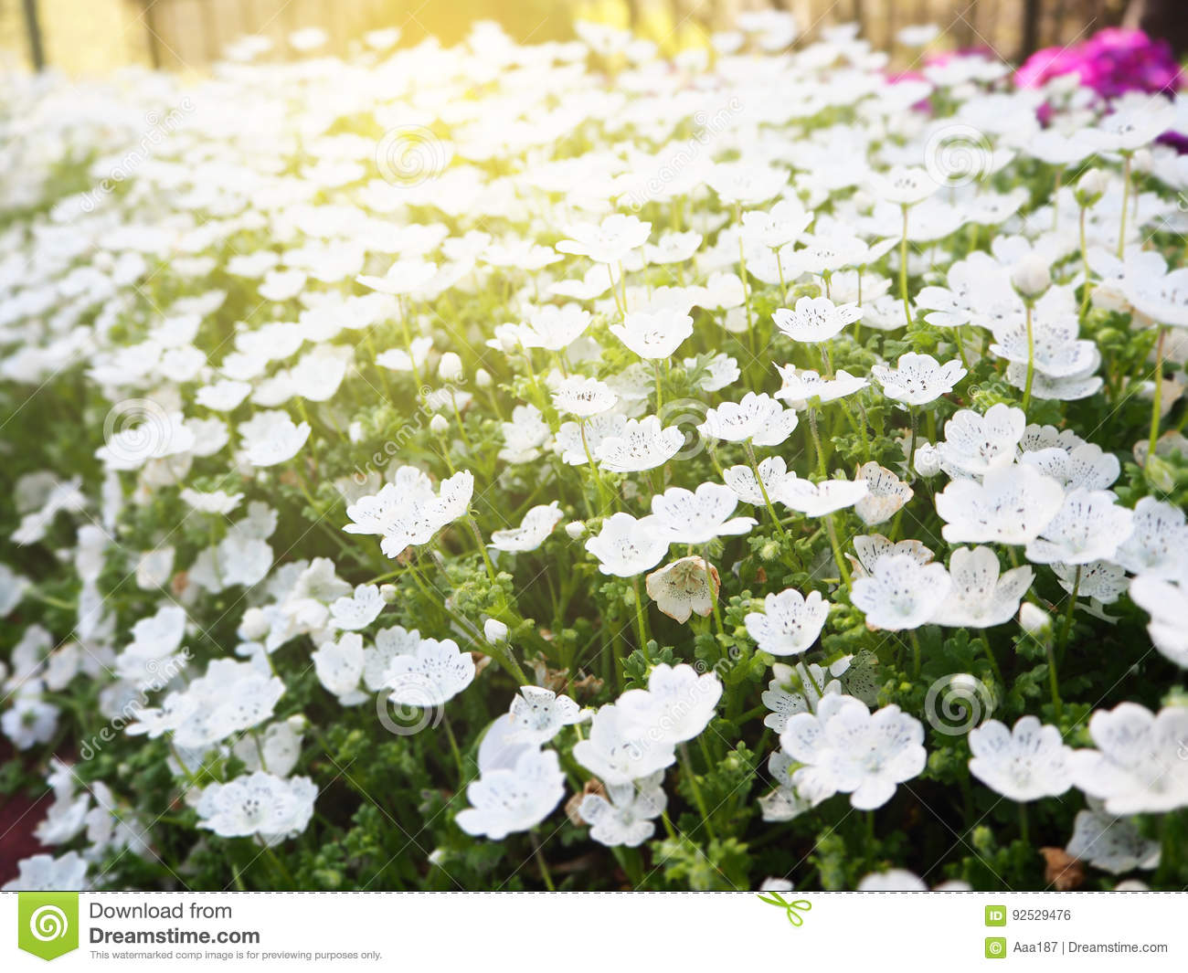 White Flower Bed Stock Photo Image Of Ornamental Floral 92529476