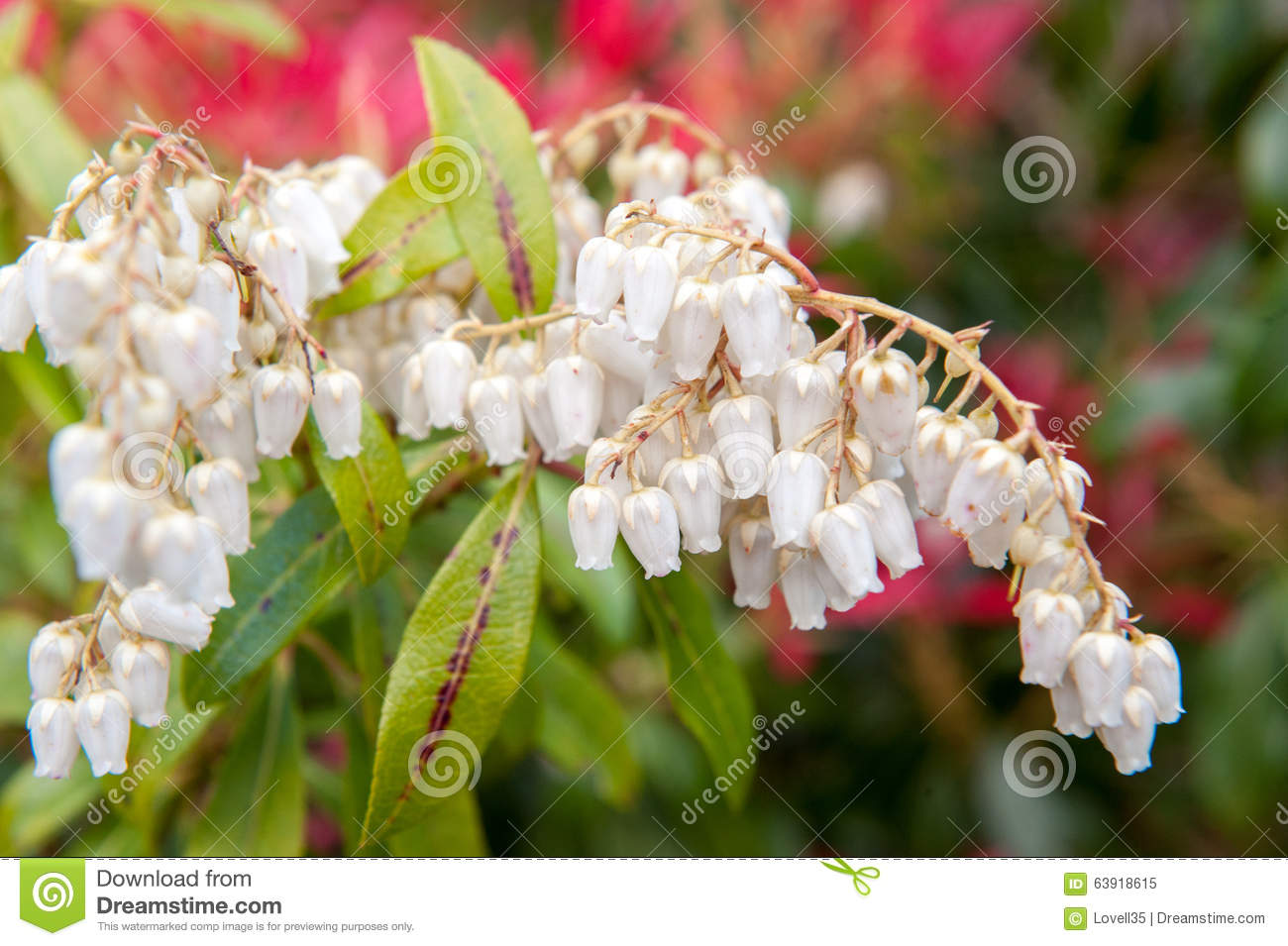 White Flower Bells Stock Image Image Of Woods Season 63918615