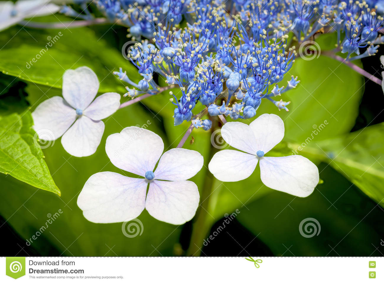 White flower with blue buds in nature stock image image of white flower with blue buds in nature izmirmasajfo
