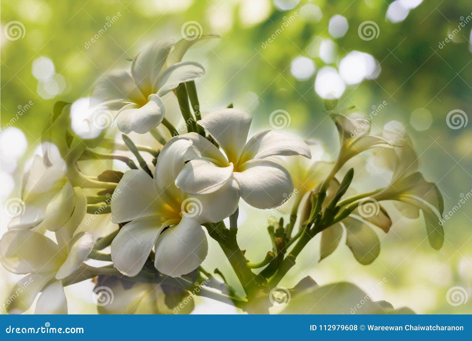 White flower bunch plumeria or frangipany in tree bokeh for summer background