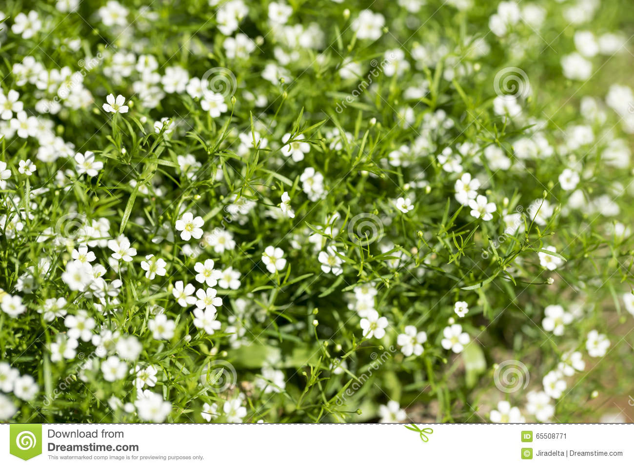 White Flower Bush Stock Image Image Of Gardening Spring 65508771