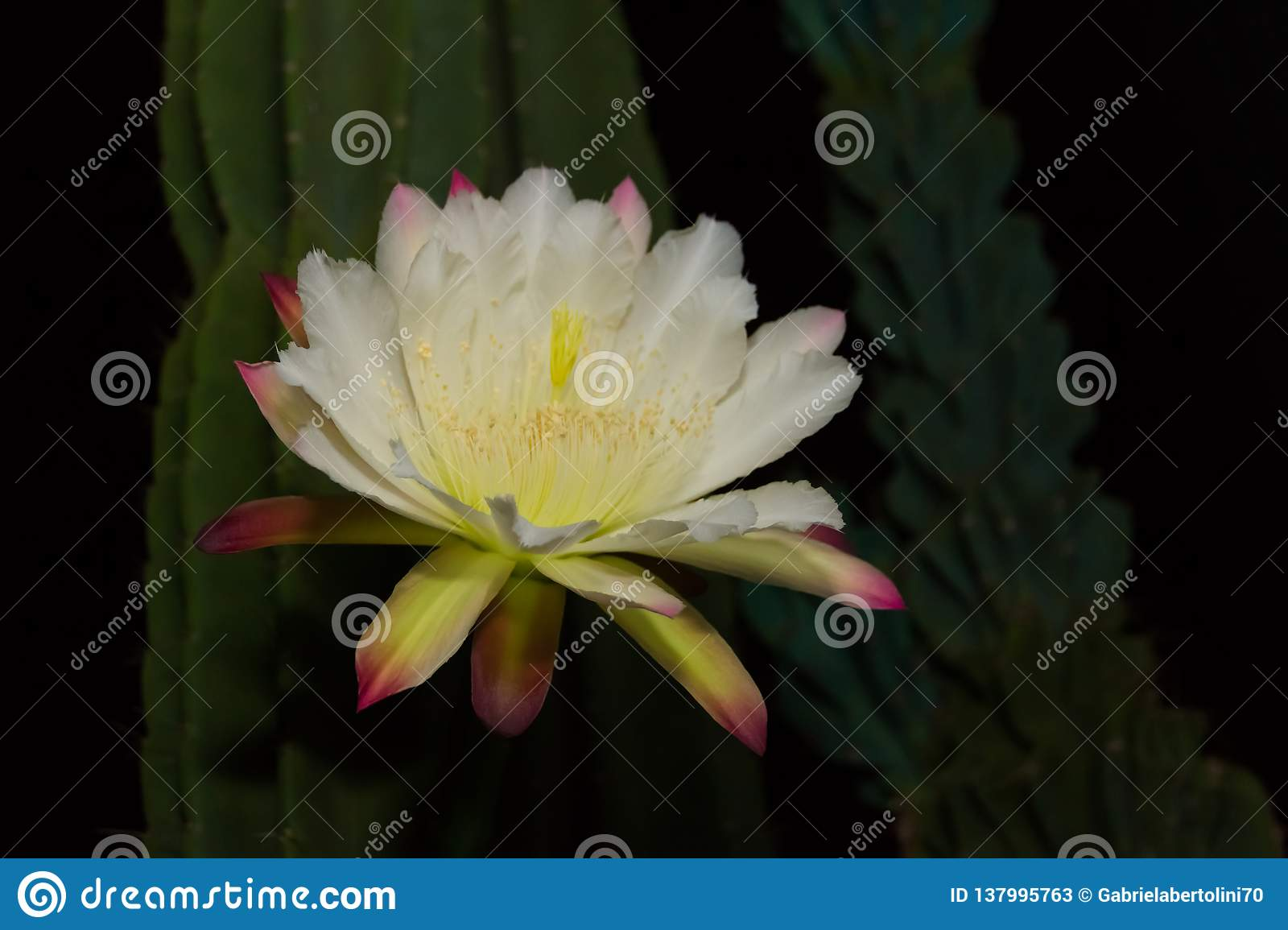 The White Flower Of The Cactus Cereus Blooming At Night Stock Image