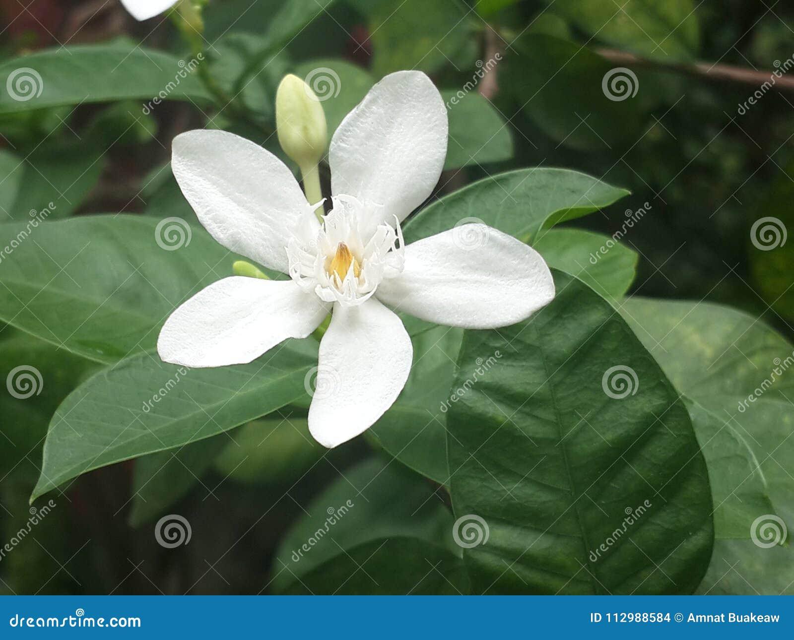 White flower closeup, Cape Jasmine, Apocynaceae, Gardenia jasminoides, Wrightia antidysenterica india