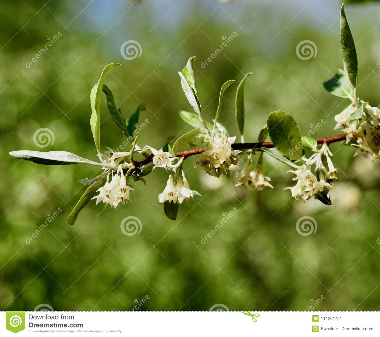 White flower clusters and green leaves of autumn olive bush stock clusters of white flowers surrounded by green leaves on a stem of the autumn olive tree elaeagnus umbellata in a western pennsylvania field mightylinksfo