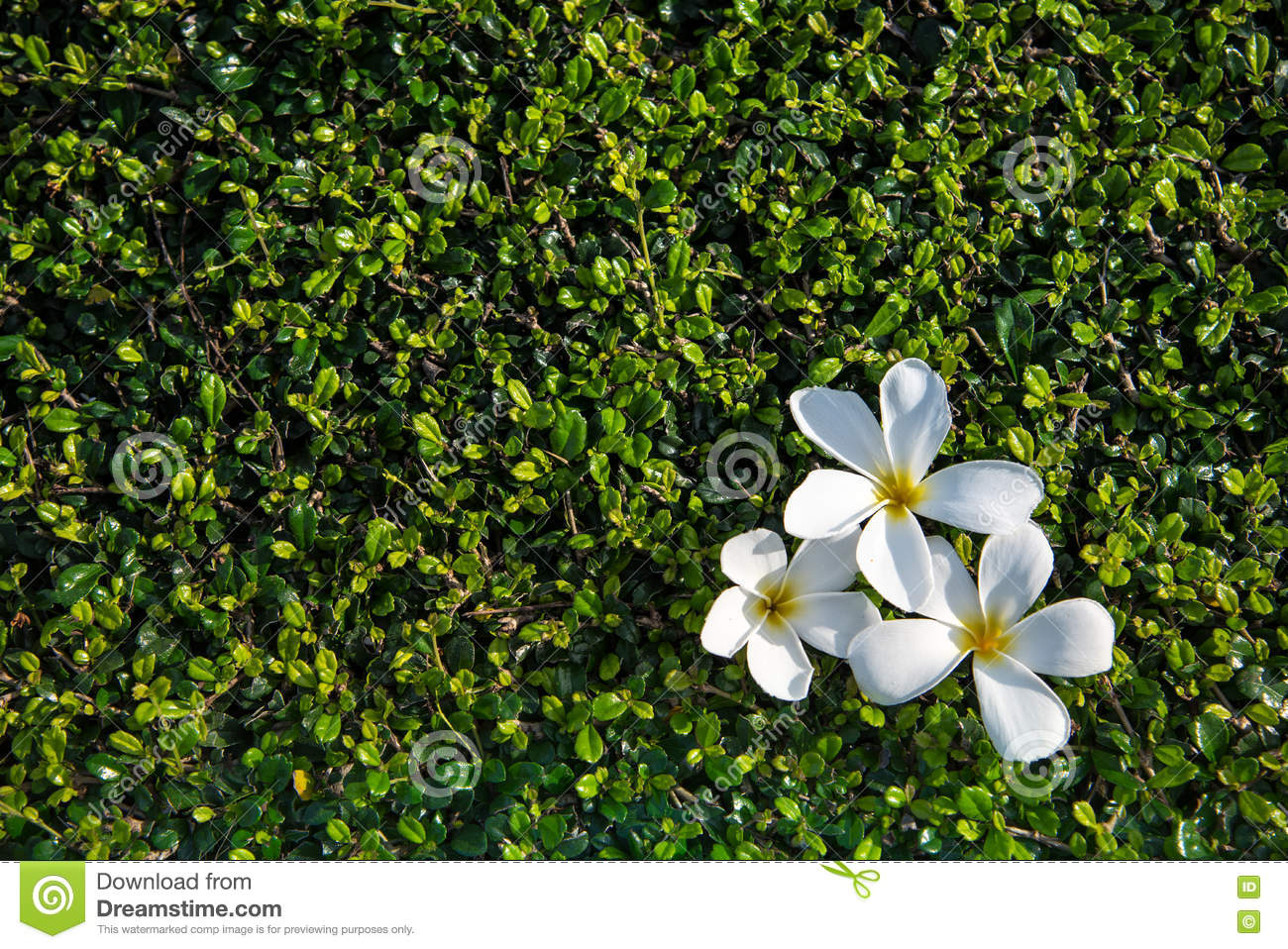 White Flower On A Concrete Floor With A Shrub Wall With The Hard Sun