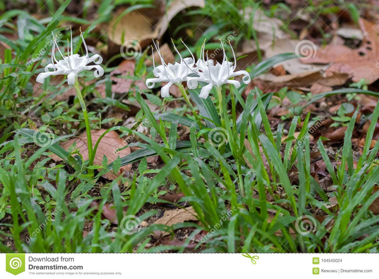 White Flower Of Crinum Also Known As Crinum Lily Cape Lily Po
