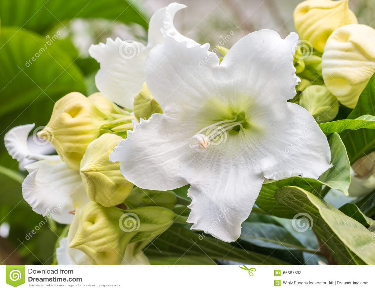 White flower easter lily vine stock image image of summer white flower easter lily vine izmirmasajfo