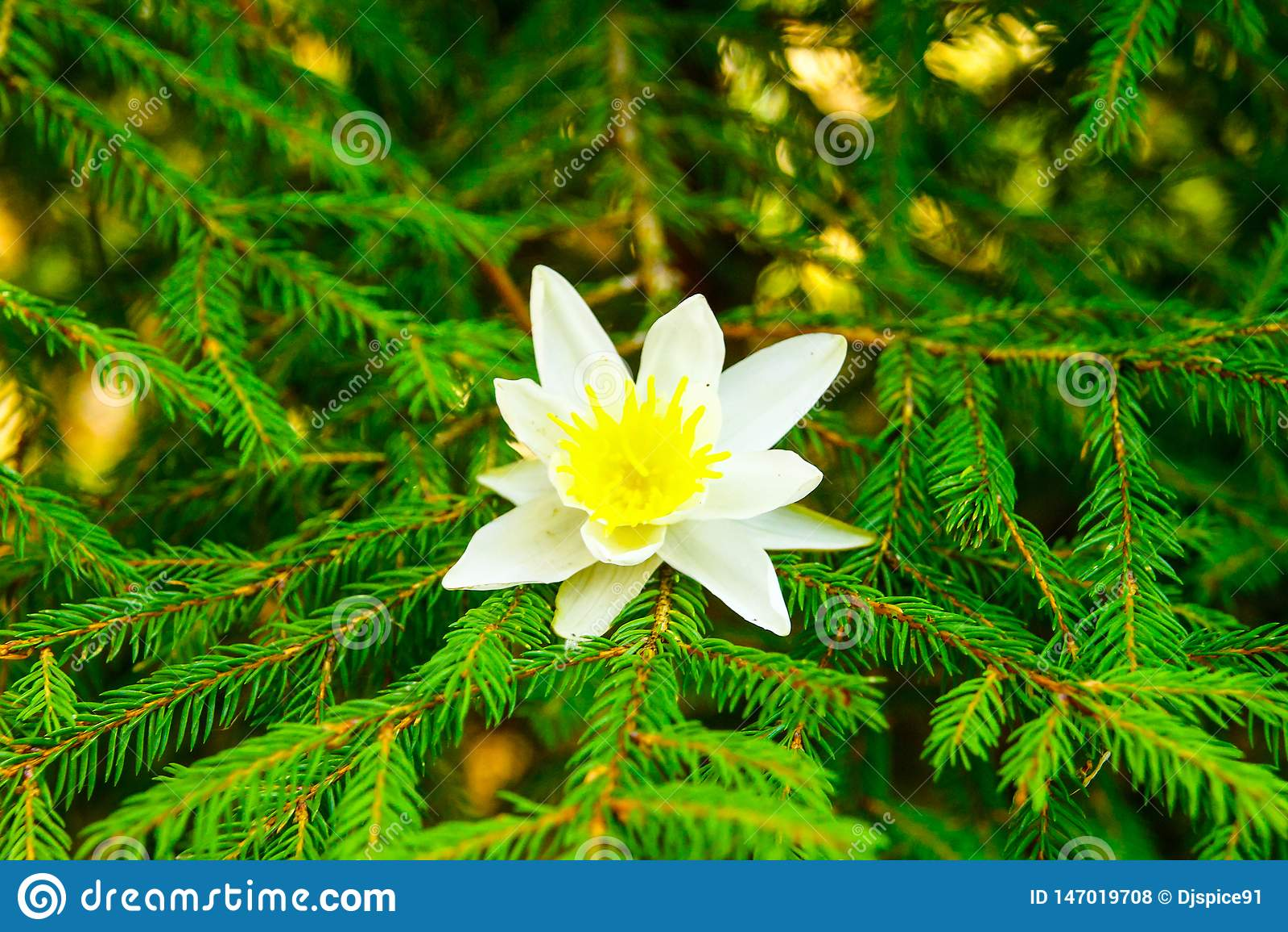 White flower on fir branch