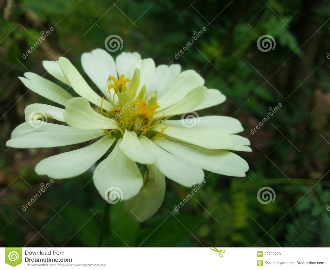 White Flower With Green Background Stock Photo Image Of Daisy