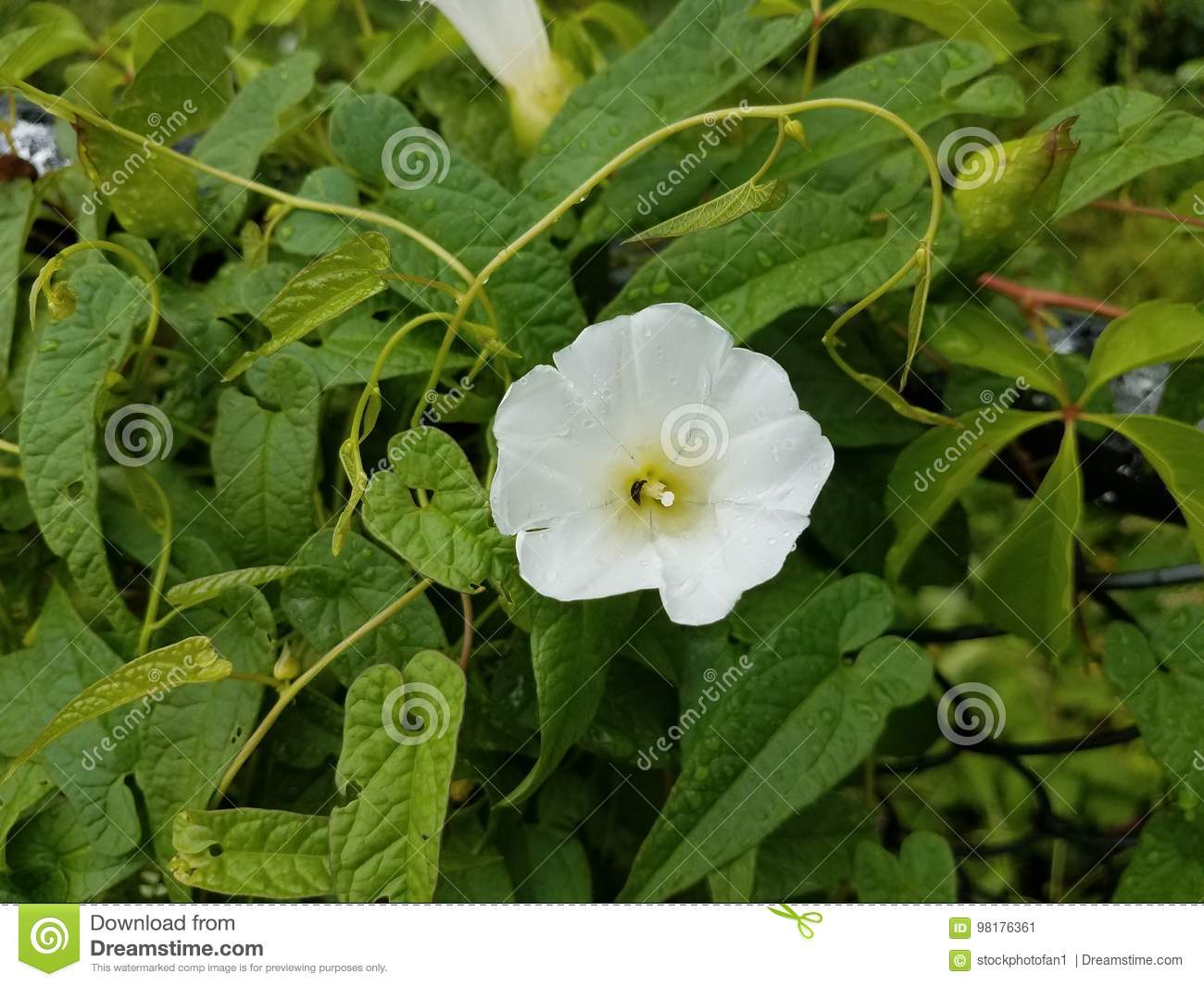 White Flower On Green Vine Stock Image Image Of Flora 98176361