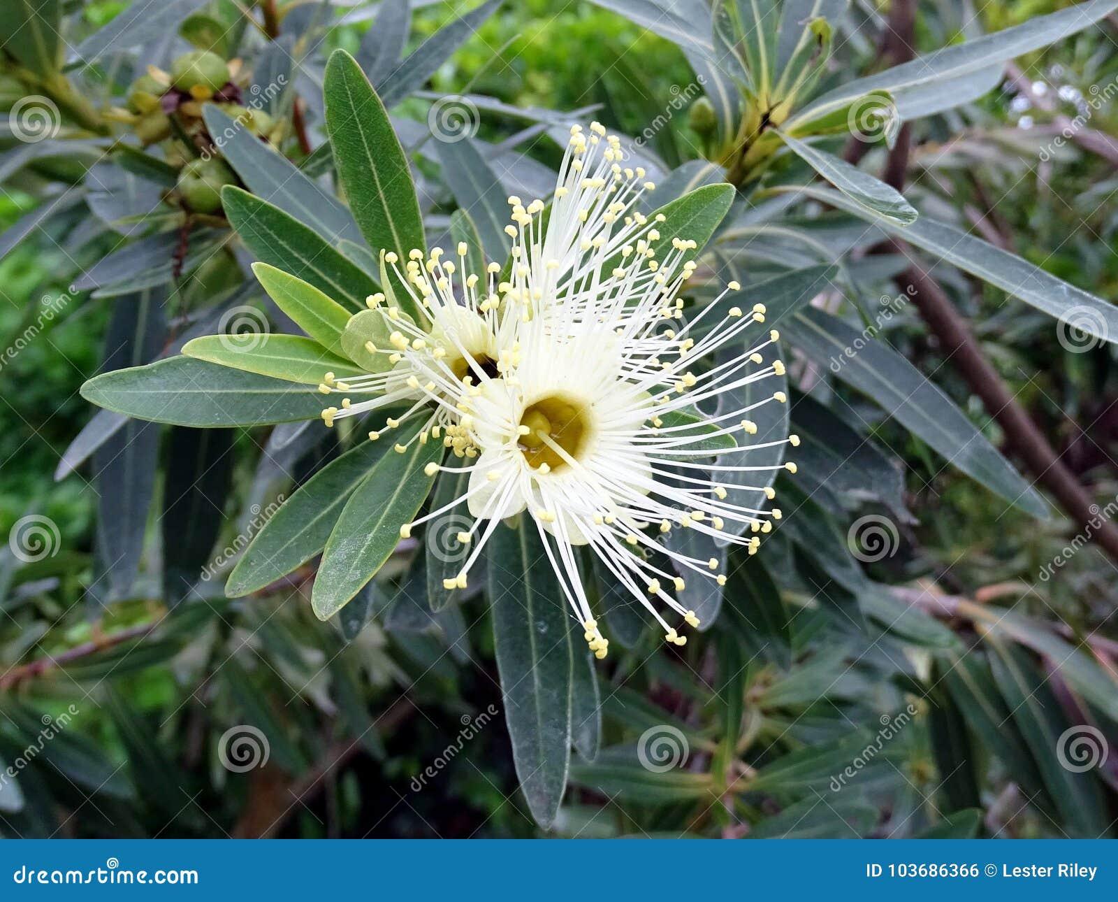 The white flower of a gum tree in full bloom in australia stock the white flower of a gum tree in full bloom in australia mightylinksfo