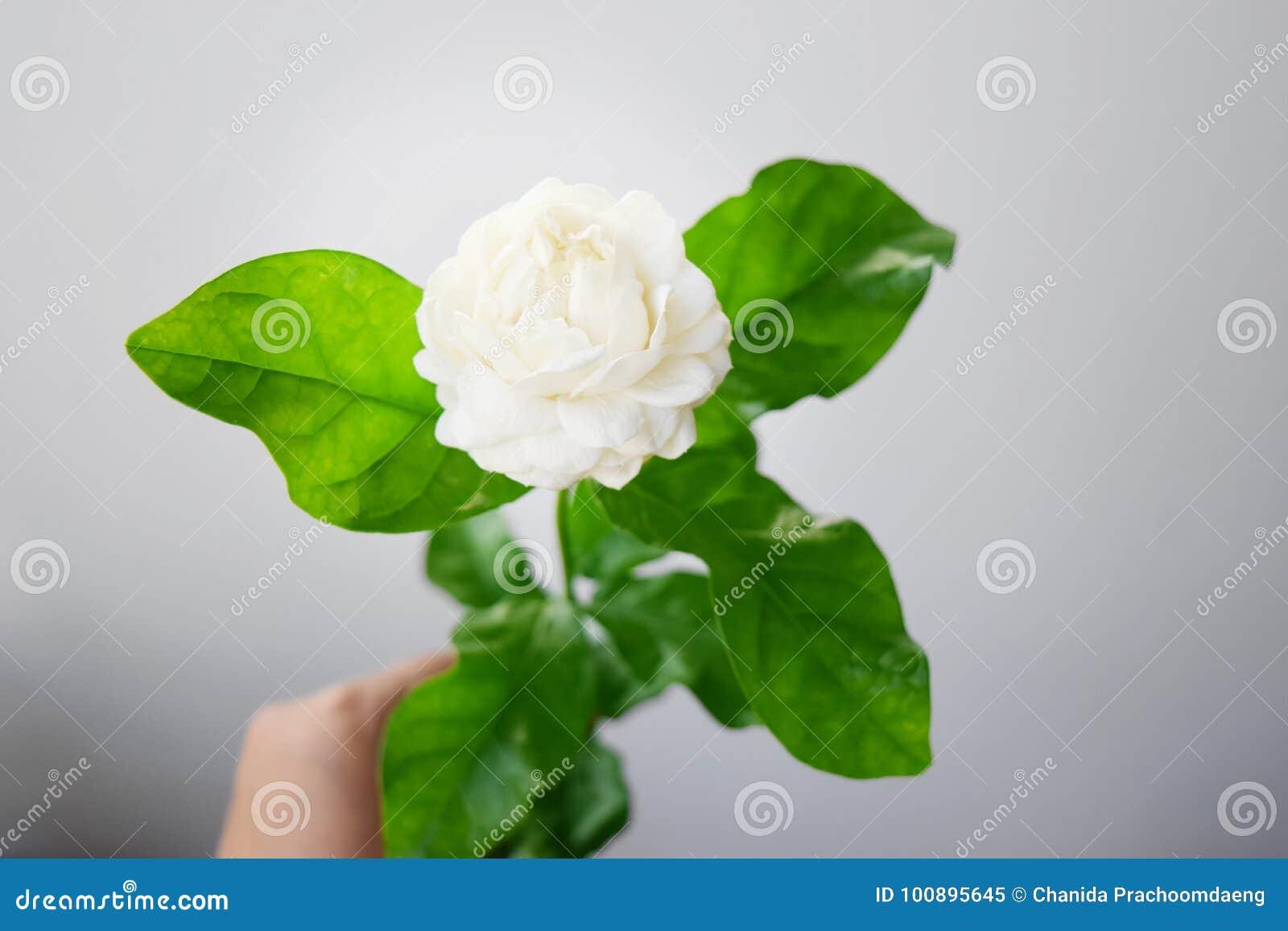 White flower have soft petals jasminum sambac in scientific name download white flower have soft petals jasminum sambac in scientific name and space for text izmirmasajfo