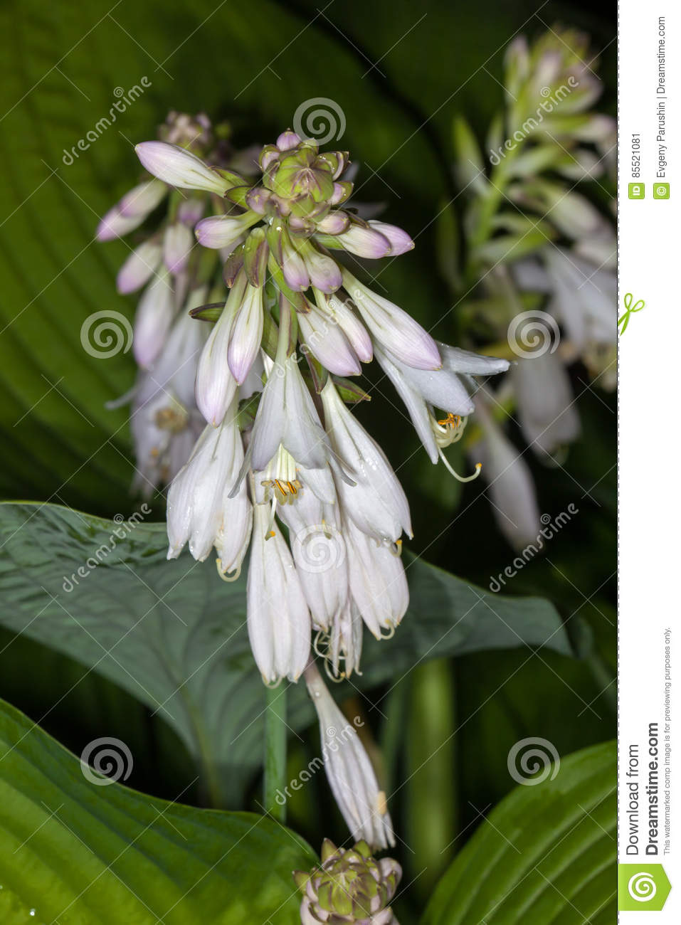 White Flower Hosta Stock Image Image Of Color Summer 85521081