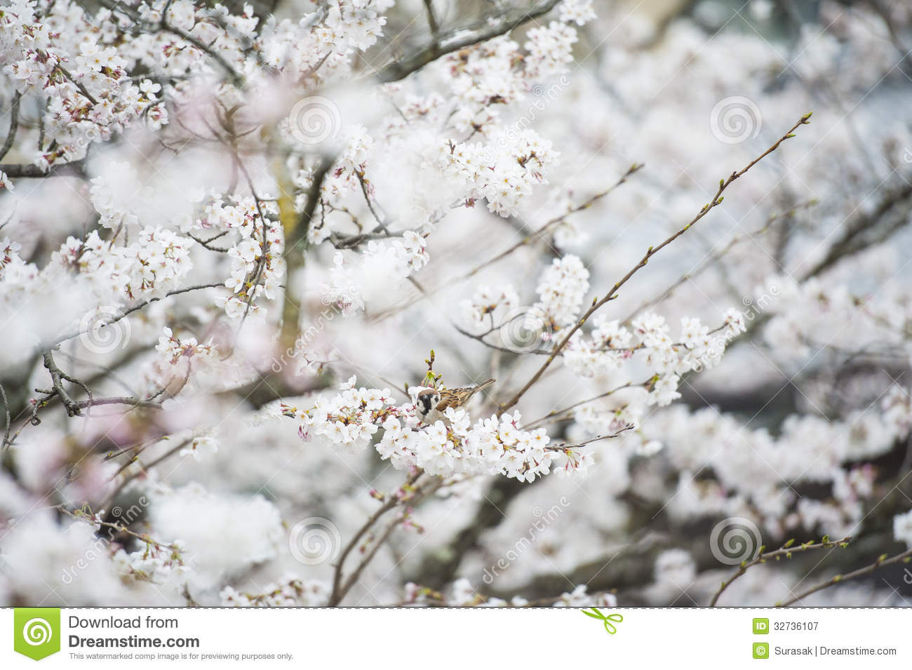 White Flower In Japan Stock Image Image Of Beauty Japanese 32736107
