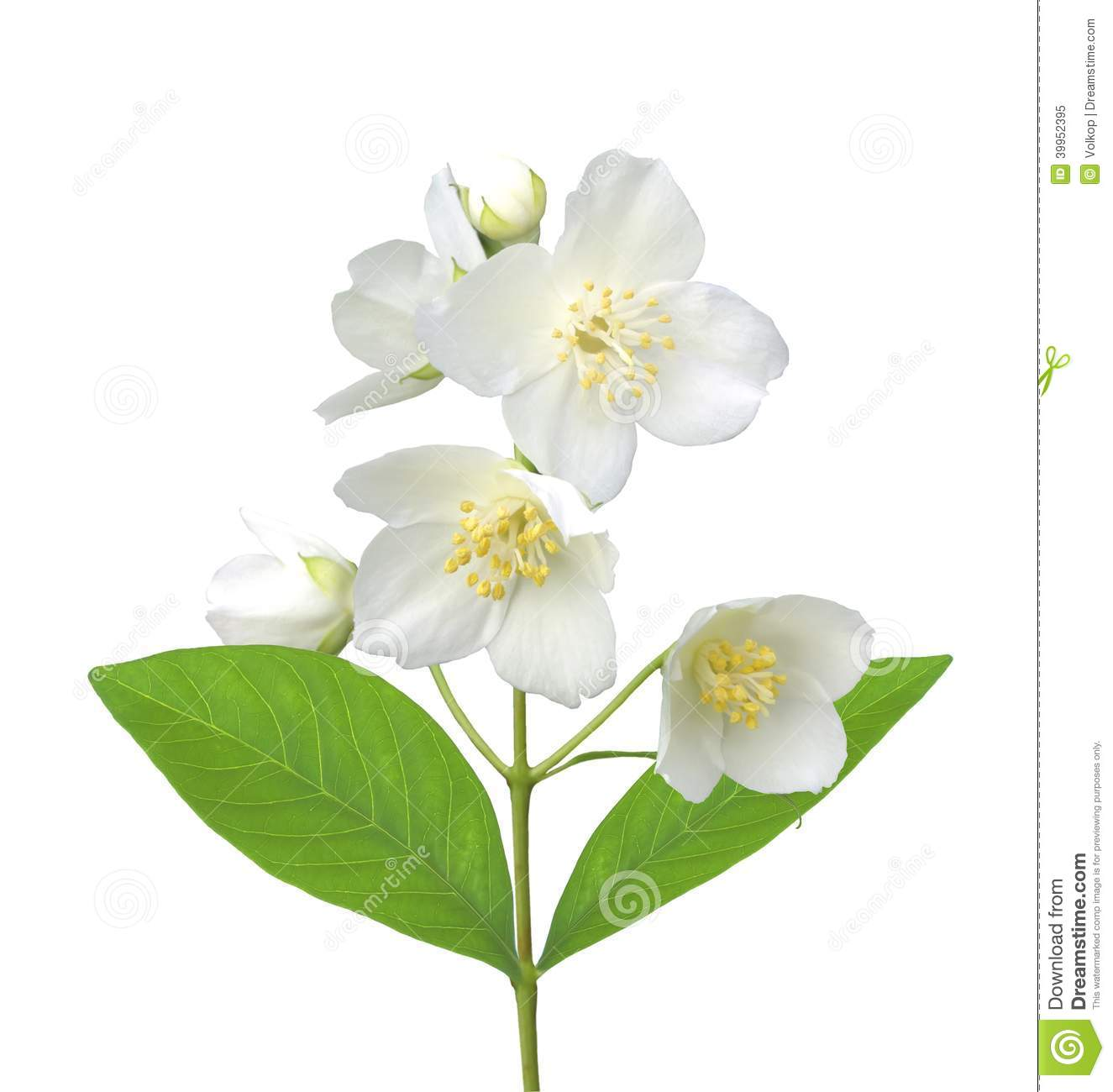 White Flower (jasmine) Isolated On White Stock Photo